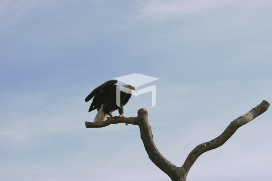 Bald Eagle on dead tree