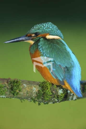 European Kingfisher on perch