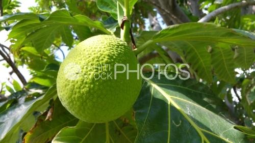 Breadfruit tree, Fruit de l'arbre à pain