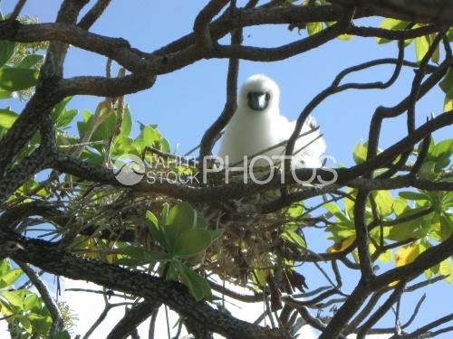 Young Sea bird nesting, fou brun juvenile dans son nid