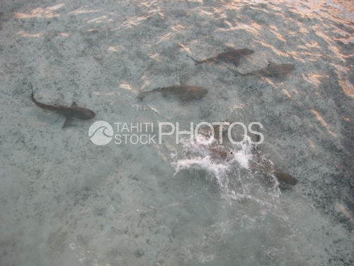 Black Tip Sharks in the lagoon