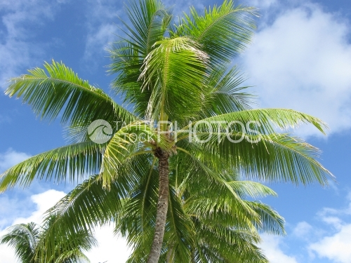 Coconut tree and sky, cocotier et ciel