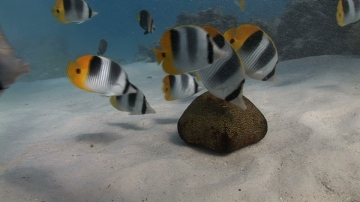 Bora Bora, Lagoon, Butterfly fish and star fish on the white sand