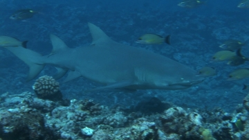 Bora Bora, Lemon shark swimming along the coral garden, watched by Scuba divers and hawkbill turtle