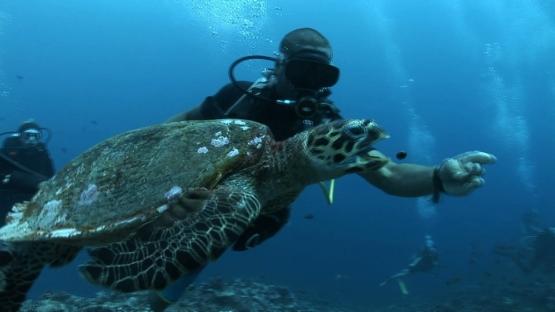 Scuba diver feeding a turtle, Moorea