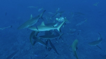 Frenzy of Gray Sharks part 3, Tahiti