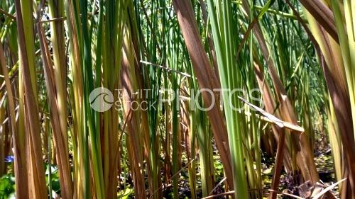 Tahiti, Reed
