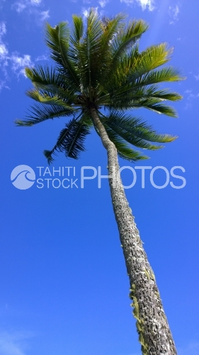 Long Cocotier sous le ciel bleu, Coconut Tree Under Blue Sky