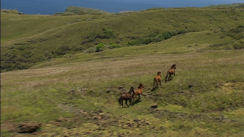 Aerial shot of wild horses running in the meadow in Nuku Hiva in the Marquesas islands, French Polynesia