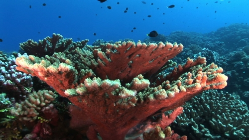 Fakarava, drifting over a very nice  table of coral in the pass Tetamanu, french Polynesia, Tuamotus
