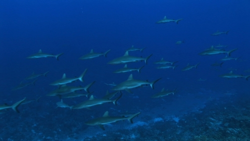 Fakarava, Drifting along a large school of grey sharks in the pass Tetamanu