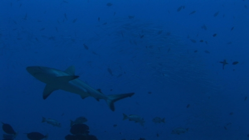 Fakarava, Grey shark crossing field, and barracudas schooling in the background in the pass Tetamanu