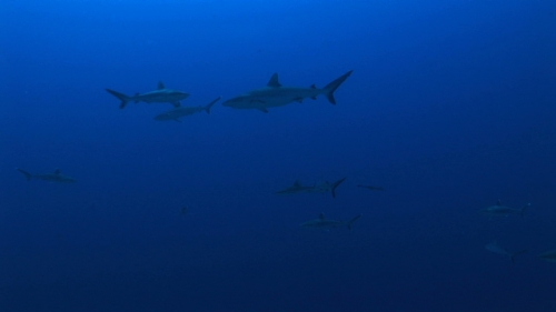 Fakarava, Group of grey reef sharks  in the pass Tetamanu