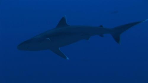 Fakarava, Zoom on  a white tip reef shark in the pass Tetamanu
