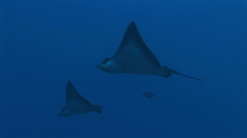 Fakarava, Couple of Eagle rays swimming in the depth of the pass Tetamanu