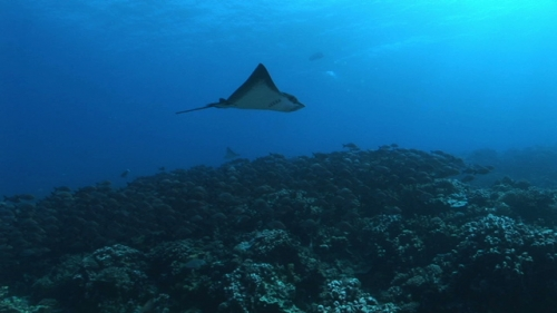 Fakarava, Couple of eagle rays swimming over the coral garden, pass Tetamanu