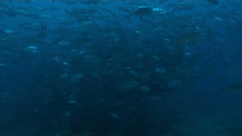 Tahiti, Big eye trevally jack fish schooling