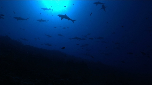 Fakarava, School of grey reef sharks swimming under sunlight