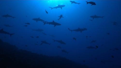 Fakarava,  Group of grey reef sharks under the sunlight, pass Tetamanu