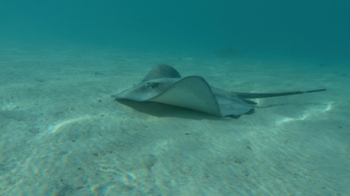 Moorea, Sting rays swimming on the white sand, shallow