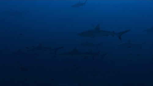 Fakarava, Group of grey reef sharks swimming in the pass Tetamanu