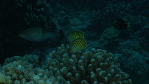 Fakarava, Coupe of butterfly fishes lihghten and eating coral