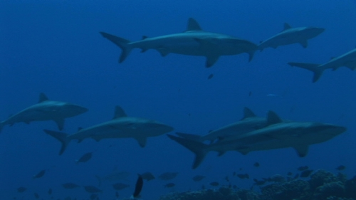 Fakarava, zoom on Group of grey reef sharks in the blue pass Tetamanu
