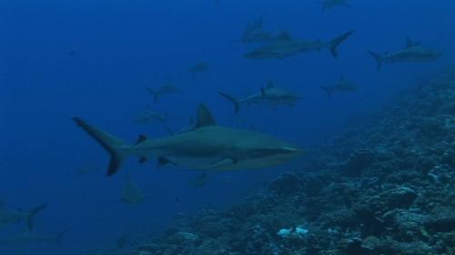 Fakarava, drifting towards a Group of grey reef sharks in the blue pass Tetamanu