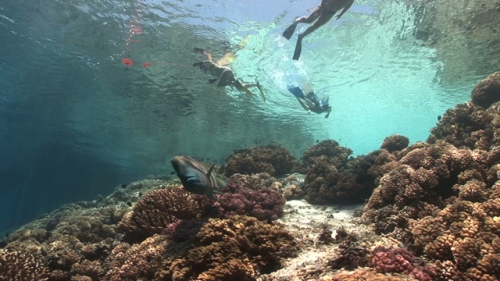 Fakarava, Snorkelers drifting over the Coral Garden and a Napoleon wrasse