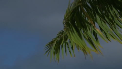 Bora Bora,  close up on palm tree in the wind, and clouds