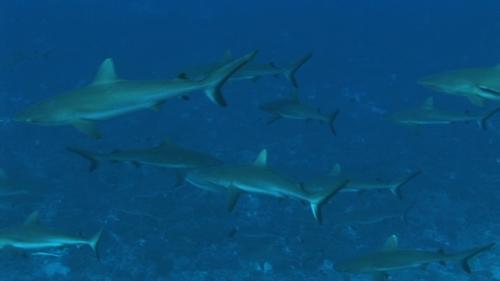 Fakarava, Group of grey reef sharks  in the pass Tetamanu