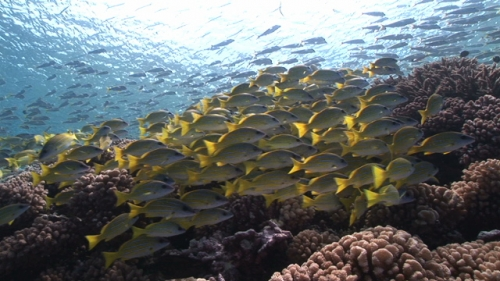 Fakarava, Group of blue lined yellow snappers  in the pass Tetamanu