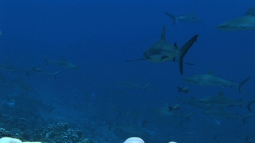 Fakarava,  Zoom on Grey sharks schooling in the current of the pass