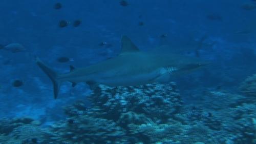 Fakarava, Zoom on a grey reef sharks  in the pass Tetamanu