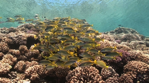 Fakarava, Blue lined yellow snappers schooling shallow along the coral reef