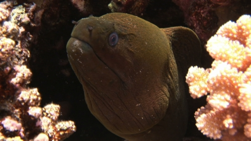 Fakarava, Javanese moray eel staying in the coral structure
