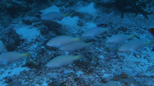Fakarava, White parrot fishes swimming in the pass