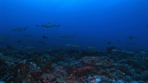 Fakarava, Scenic, White parrot fishes and grey reef sharks swimming in the pass