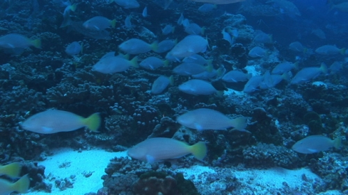Fakarava, White parrot and emperor fishes swimming in the pass