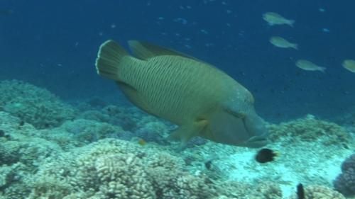 Fakarava, Napoleon wrasse swimming along the coral garden