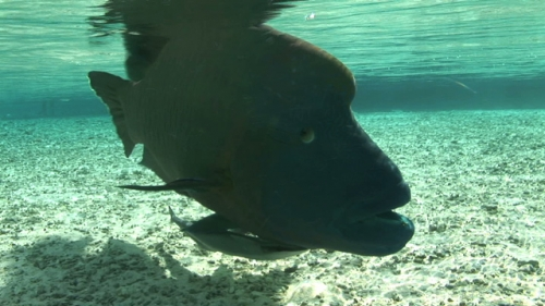 Hump head Napoleon wrasse with remora in shallow water, facing towards the camera