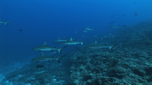 Fakarava, Grey sharks schooling along the coral reef in the deep pass