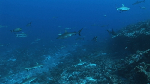 Fakarava, Grey sharks schooling along the coral reef in the pass