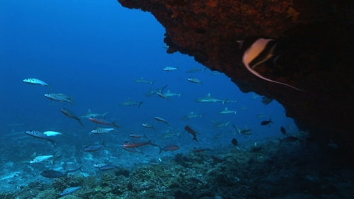 Fakarava, Grey sharks swimming in the current, shot from a cave