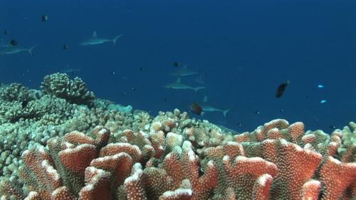 Fakarava, Grey reef sharks schooling along the coral reef