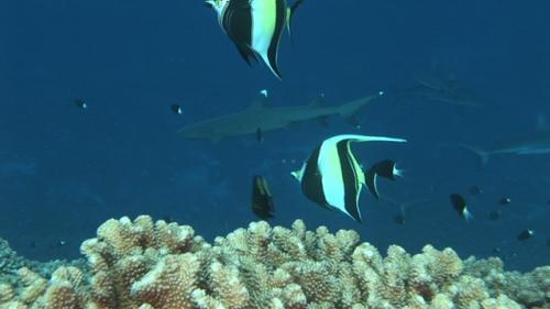 Fakarava, White tip lagoon shark swimming along the reef