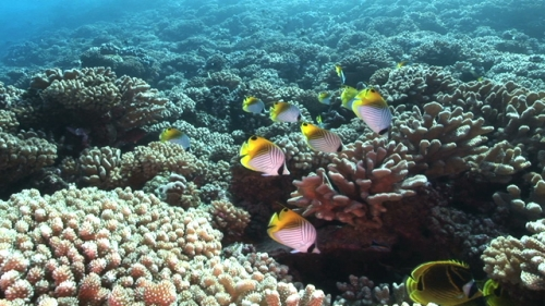 Fakarava, Butterfly fishes gathering in the coral garden