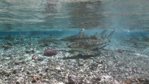 Fakarava, Group of black tip sharks swimming shallow