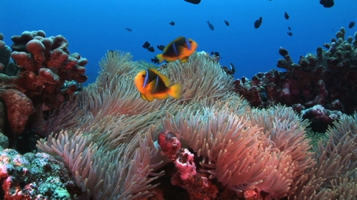 Fakarava, Couple of Clown in the sea anemone, scenic