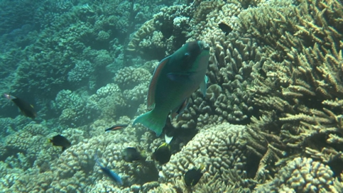 Fakarava, Cleaner wrasse cleaning a green parrot fish pear the coral garden